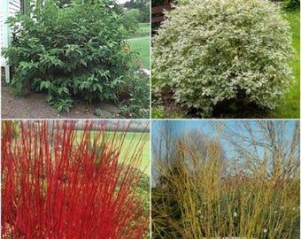 10 Tatarian Dogwood Seeds, Cornus alba