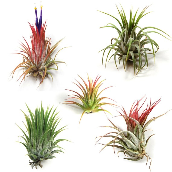 12 pack of ionantha air plants 30 day air plant guarantee for Cheap air plants