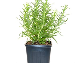 Rosemary Plant Herb Plant Grown Organic - Hardy Rosemary Arp Potted Plant Non-GMO - Great Gift!