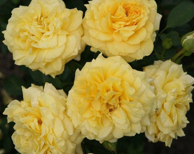 Tupelo Honey ™ Sunbelt ® Shrub Rose Reblooming Fragrant Yellow Flowers - Own Root Potted - Non-GMO - Heat Loving Rose!