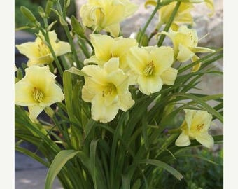 BIG SALE Daylily ,Hemerocallis ,Fragrant Return (Plant/Root) Summer flowering, Sun Loving Perennial-Now Shipping !