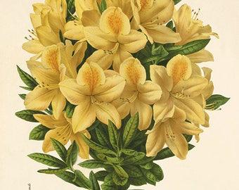 Azalea Antique flower art print botanical art print vintage garden wall art flowers home decor art French art antique prints Victorian art