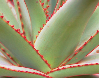 Succulent with red edges -