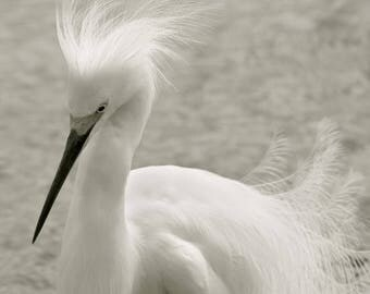 Snowy Egret headshot bird photography White egret portrait light sepia  Home decor