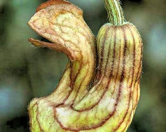 Aristolochia californica 5 seeds