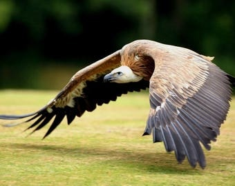 Laminated placemat Vulture