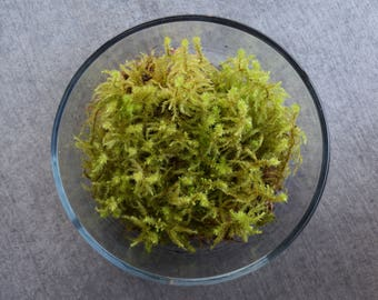 Live Gooseneck Moss (For Terrariums, Floral Crafts)