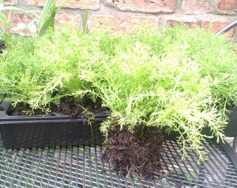 Chamomile lawn Treneague plants Large X 6 (Half tray)