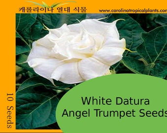 White Datura Angel Trumpets Seeds - 10 Seeds