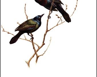 Common Grackle painted by J F Landsdowne for Birds of the Eastern Forest 2. The page is approx. 9.5 inches wide and 13 inches tall.