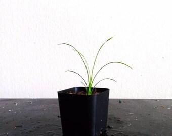 Pony Tail Palm Beaucarnea Recurvata Succulent House Plant 2 Inch Pot