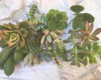 300 Assorted Succulent Cuttings