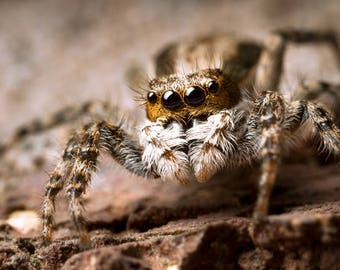Curious Hunter - Jumping Spider