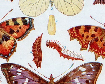Set of Four Vintage Butterfly Charts #2