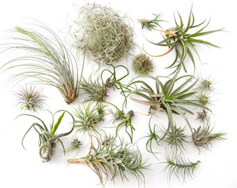Air Plant Variety Pack 60 pcs **CLEARANCE** Assorted Succulents, Terrarium Plants, Airplant Wholesale Air Plant Bulk Wholesale TiIllandsia