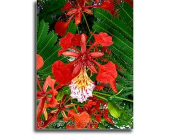 PRINT #27: If you like red, check out this gorgeous Royal Poinciana flower in full bloom. instant digital download photography.