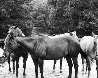 Horses Grazing Photography, Digital Download Art, Black and White, Print