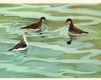 Vintage Birds Print, Shorebird Print, Northern Phalarope Birds, Seashore Decor Wall Art, Robert Verity Clem, Seaside Print Plate 31