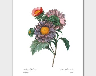 "Art Prints Flower, Flower Wall Art (Botanical Print, Purple Home Decor) -- Pierre Redoute ""Asters"""