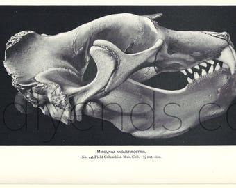 1900's Elephant Seal Skull Original Vintage Anatomy Science Print