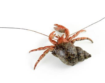 Hermit Crab No.19 Limited Edition Bronze