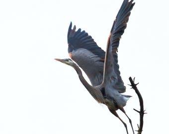 Great Blue Heron Taking Flight from Nest-Digital Download