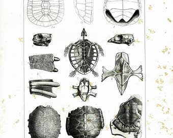 1853 Turtle Shell Tortoise Antique Fossil Skeleton XL print. Paleontology wall art. 1800s Natural History 19th century.