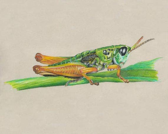 Grasshopper Colored Pencil Drawing Art Print