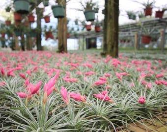 Tillandsia Stricta In Bloom