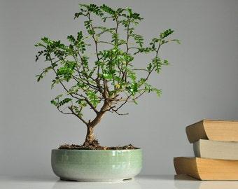 New Green And White Bonsai Tree Plant Pot