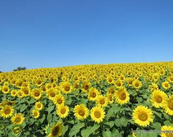 Sunflower Field IV