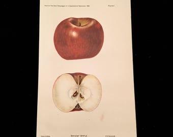 Bryant Apple - Original Antique Print, 1893 Dept. of Agriculture Print, Vintage Kitchen Decor