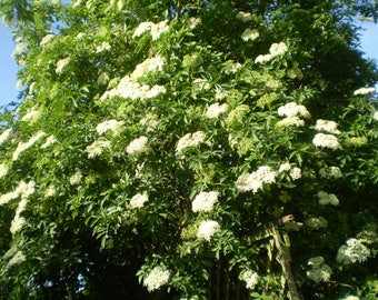Young Organic English Common Elder Tree,Elderflower,Elderberry,Make your own Elderflower Cordial,Elderberry Wine