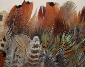 F39 - Lot/Set of feathers/natural feathers of pheasant/Pheasant - 24plumes-10/12, 5cms - (F39)