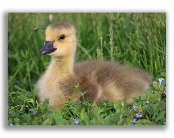 Gosling Print, Wildlife print, wildlife photography, nature print, Canada Goose print, bird print, bird photography, baby goose, baby animal