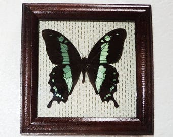 Butterfly in frame made of expensive wood.