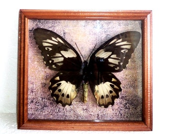 Ornithoptera in the frame of expensive breed of real wood !