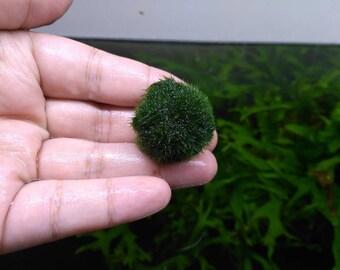 Marimo Moss Ball 2-3cm aquarium planted tank terrarium