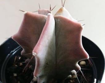 """Stenocereus Pruinosus Cactus (3.5""""pot)"""
