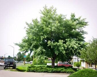 Silver Maple Tree 4-5 Foot