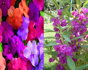 Impatiens walleriana mix-Touch me not (25 SEEDS) OR Impatiens balsamina (70 SEEDS)