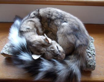 Taxidermy Sleeping Ringtail Cat, New Mount