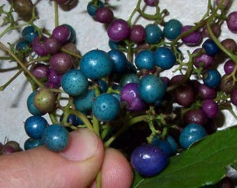 Porcelaine grape berry vine 15 seeds, Ampelopsis, hardy liana, blue rare berries