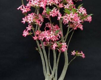 Adenium somalense (Desert Rose) / 5 seeds