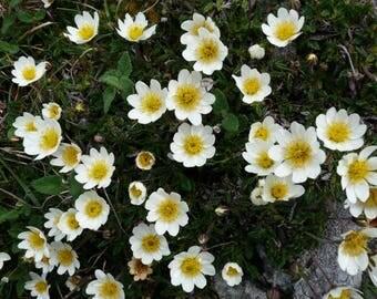 20 Dryas octopetala Seeds ,   White Dryas, White Dryad, Eightpetal Mountain avens, Mountain avens Seeds