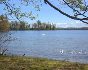 Swan on Hamlin Lake - photography