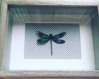 Framed dragonfly, real dragonfly, boho decor, insect art, entomology, lepidoptera, bohemian decor, nature inspired