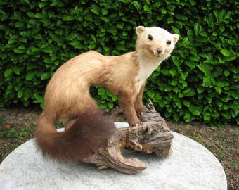 A Nice Vintage French Taxidermy Fouine Pine Marten Mounted On An Old Tree Root