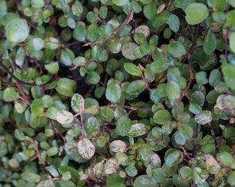Tricolor Creeping Wire Vine (Muehlenbeckia axillaris 'Tricolor'): miniature garden, fairy garden, living plant, dwarf plant