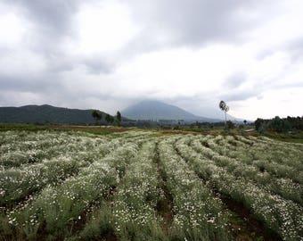 Ruhengeri, Rwanda, East Africa • Pyrethrum field near Volcanoes National Park • Landscape photograph printed on canvas